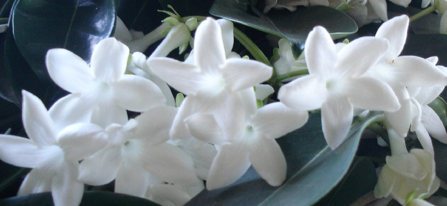 Stunning Stephanotis pure white wax-like star shaped flowers - perfect for Wedding Cakes